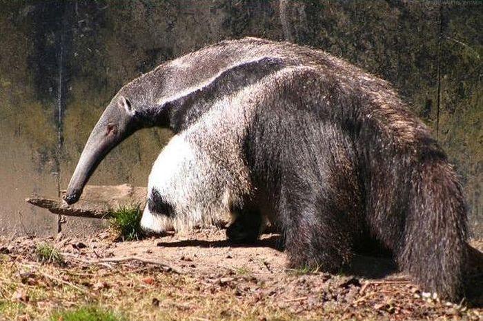 Giant Anteater Legs Look Like Pandas (4 pics)