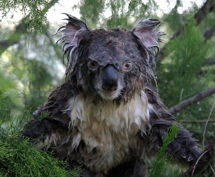 What A Wet Koala Looks Like (3 pics)