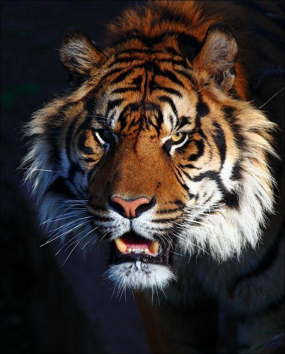 Big Cats (100 pics)