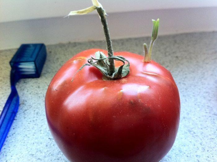 Tomato Story  (12 pics)