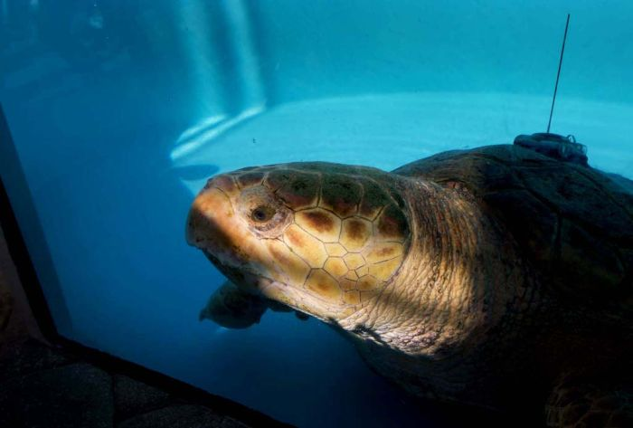 Sea Turtle (11 pics)