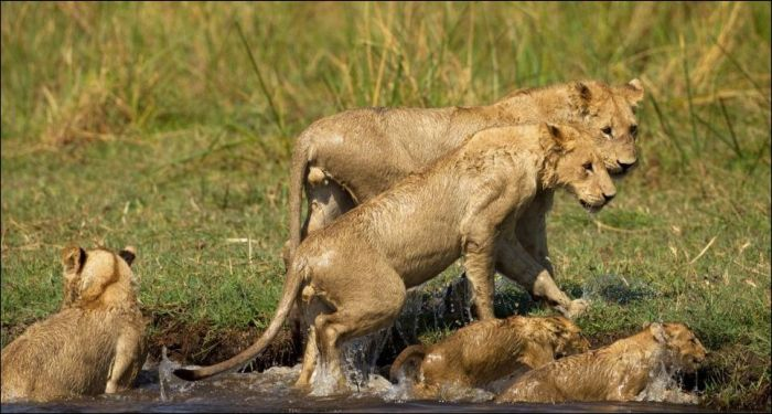 Lion vs Croc (11 pics)
