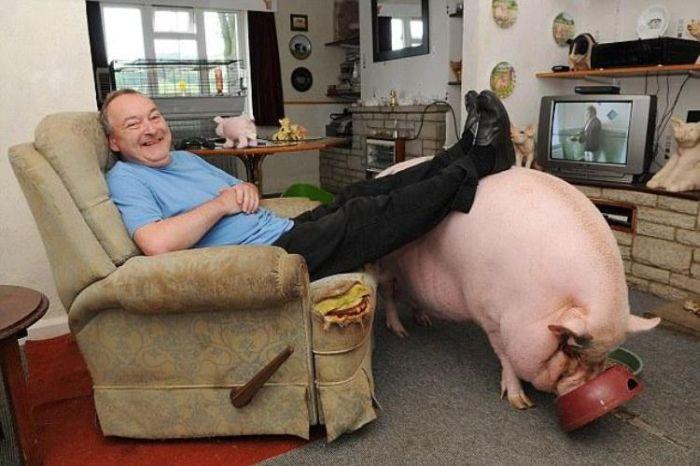 Not a Normal Mini Pig (6 pics)