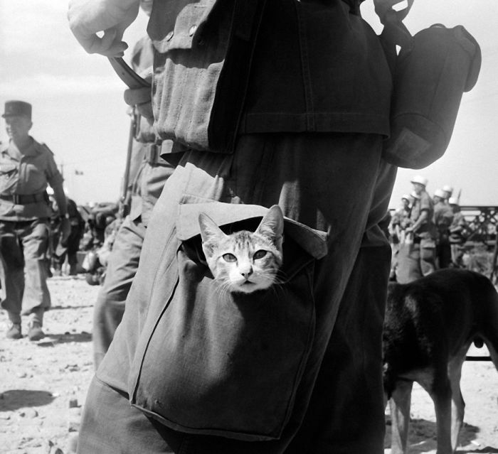 Cats at War (30 pics)