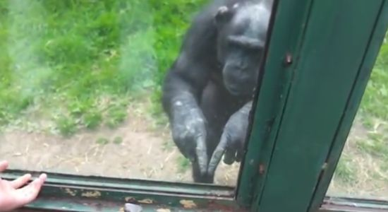 Hilarious Monkey Planning The Great Escape
