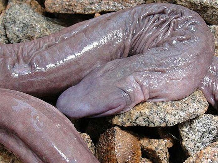 Floppy Snake Atretochoana Eiselti (4 pics)