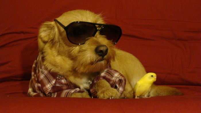 Dogs Wearing Sunglasses (65 pics)
