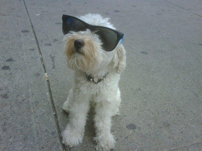 Dogs Wearing Sunglasses (65 pics)