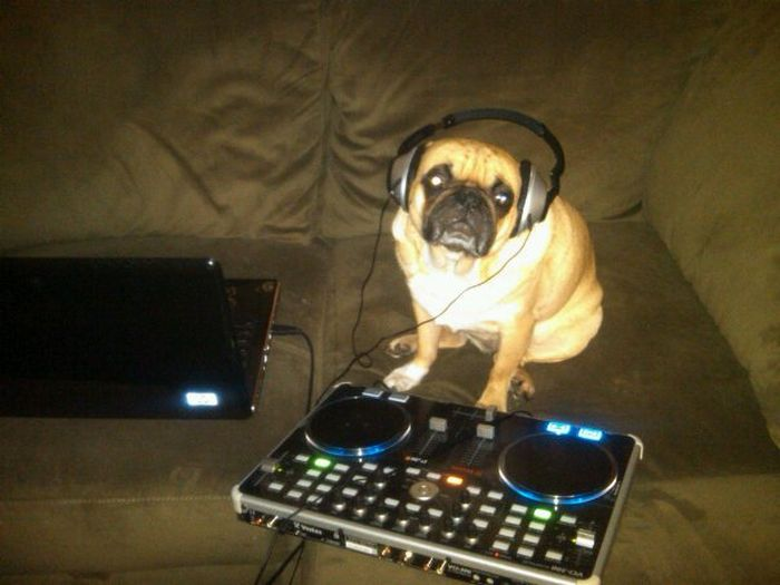 The Life of Winston the Pug (21 pics)
