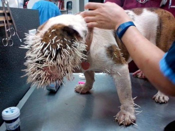 Bulldog vs Porcupine (7 pics)