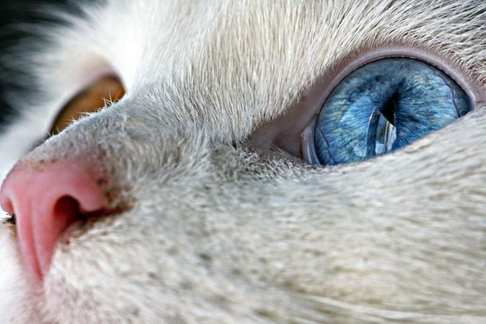 Cats With Heterochromia Iridum (60 pics)