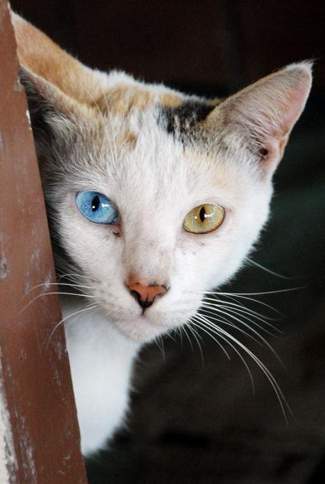 Cats With Heterochromia Iridum (60 pics)