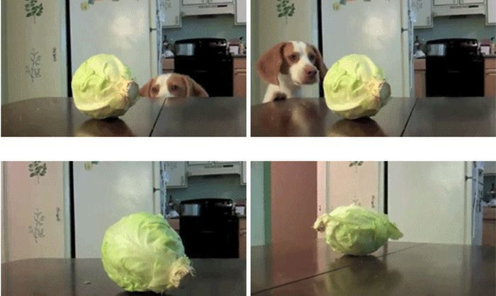Dog vs. Cabbage (7 gifs)