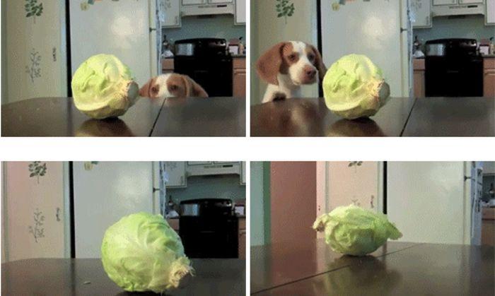 Dog vs. Cabbage (7 gifs)
