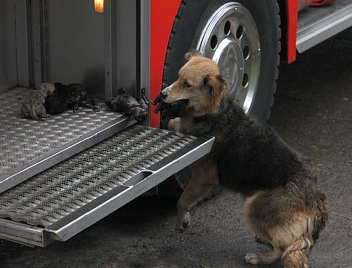Mother Dog Saves Her Puppies from Fire (5 pics)
