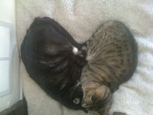 Synchronized Sleeping by Cats (7 pics)