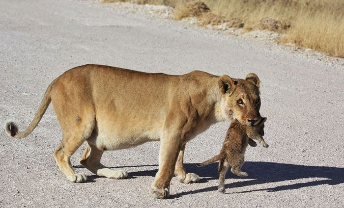 Lioness with Cubs Crossing the Road (9 pics)