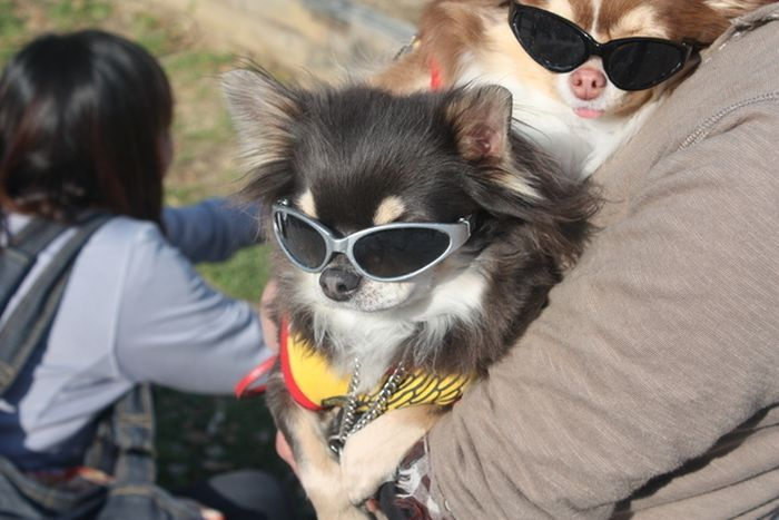 Dogs in Japan Have Awesome Fashion (50 pics)