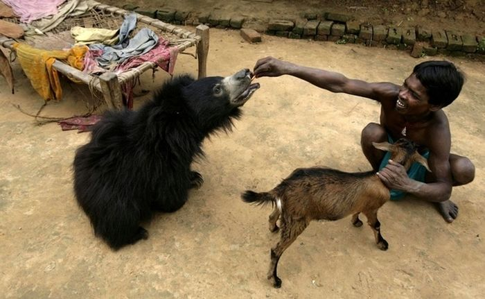 Pet Bear from India (6 pics)