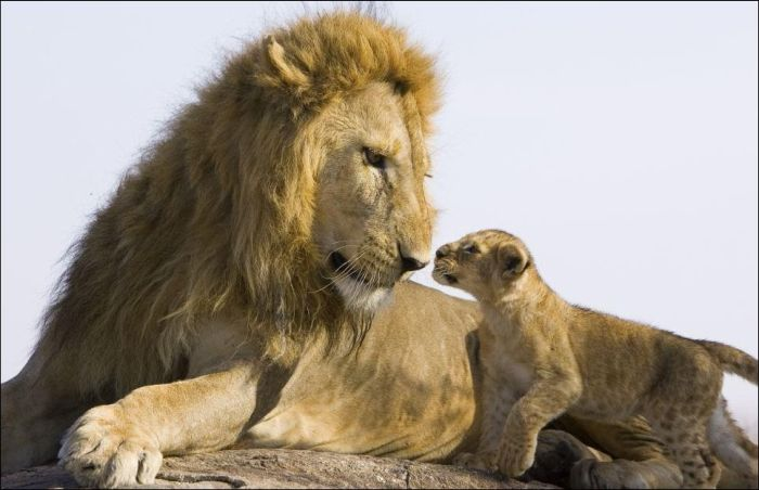 Lion Cubs Meet Their Father (5 pics)