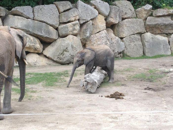 Baby Elephant Falling Over (4 pics)