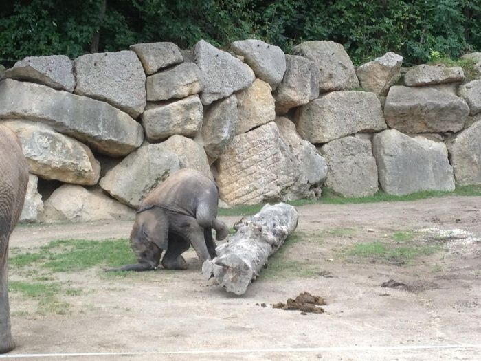 Baby Elephant Falling Over (4 pics)