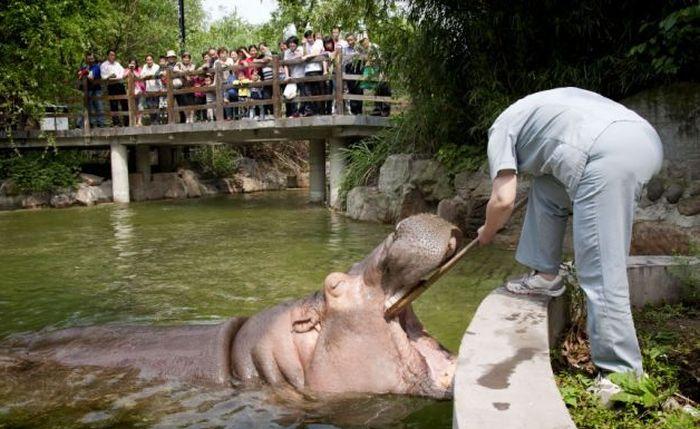 Hippopotamus Teeth Brushing (5 pics)