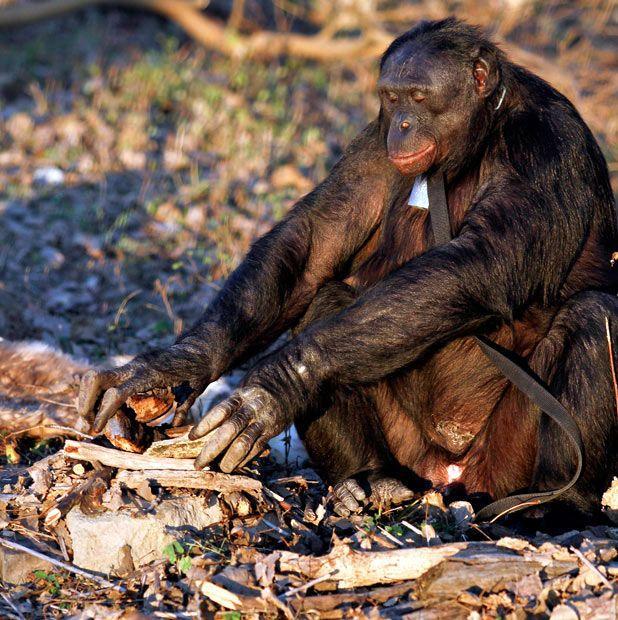 Food Cooking Chimpanzee (11 pics)