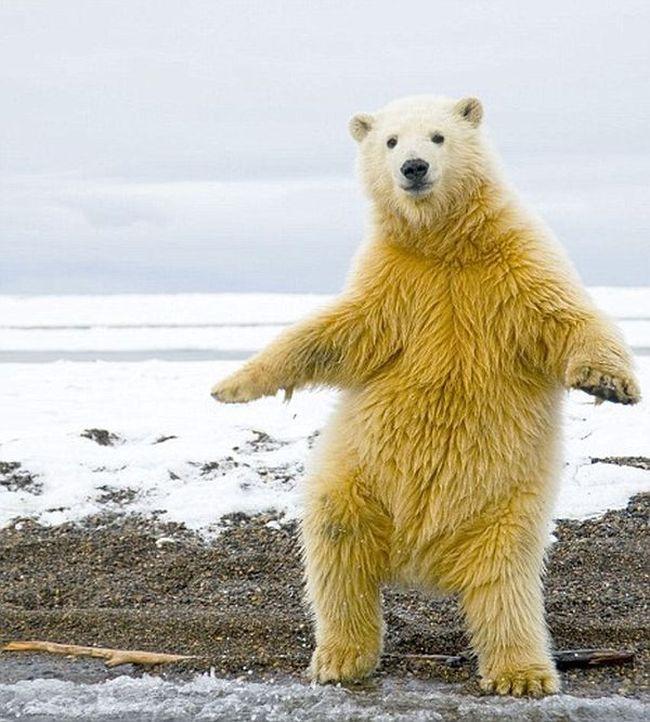 Dancing Bear (5 pics)