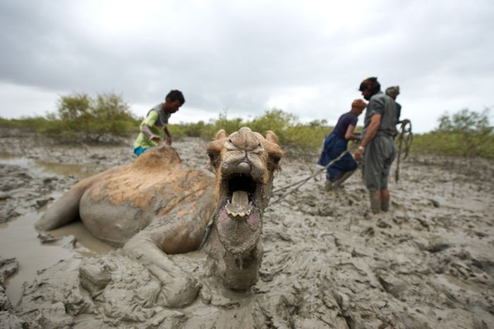 How to Rescue a Camel (22 pics)