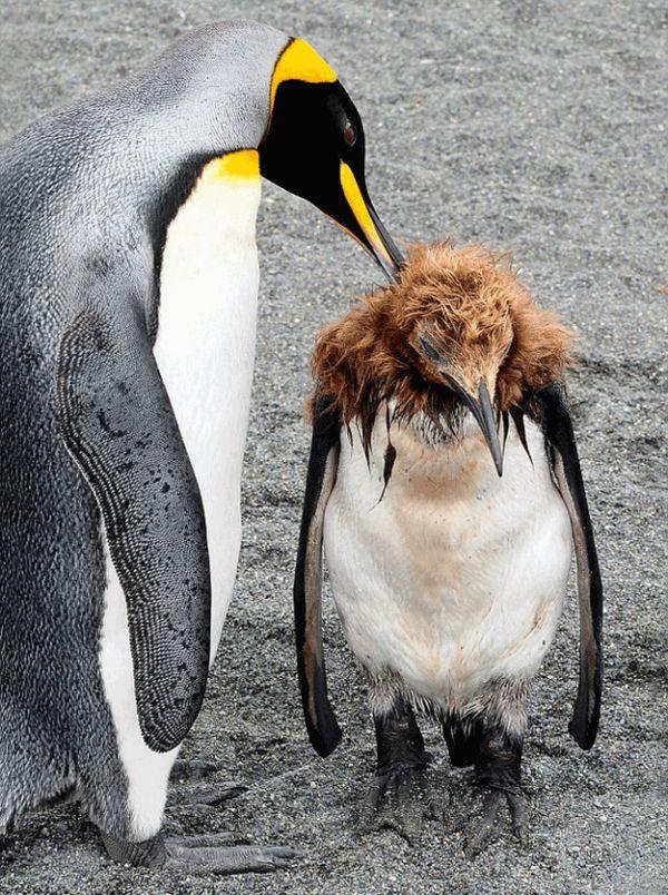 Penguin Puberty (2 pics)