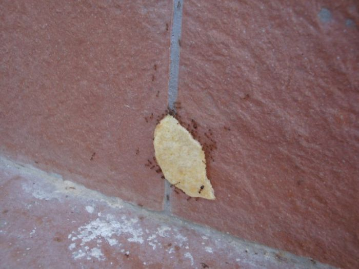 Ants Carrying Chips Up the Wall (22 pics)