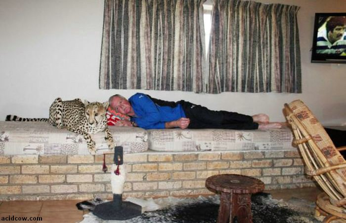 Pet Cheetah Jolie (22 pics)
