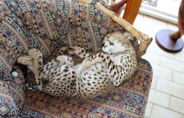 Pet Cheetah Jolie (22 pics)