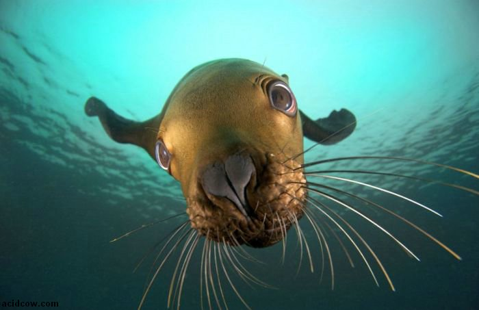 Cute Sea Lion Playing with His Reflection (7 pics)