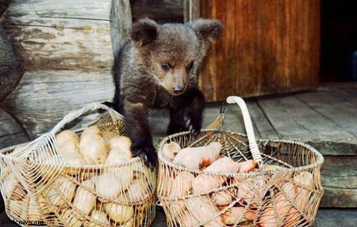 Raising a Bear Cub (25 pics)