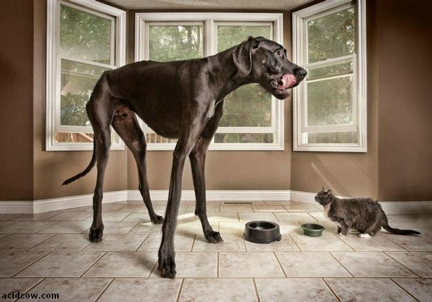 Zeus, the World's Tallest Dog (9 pics)