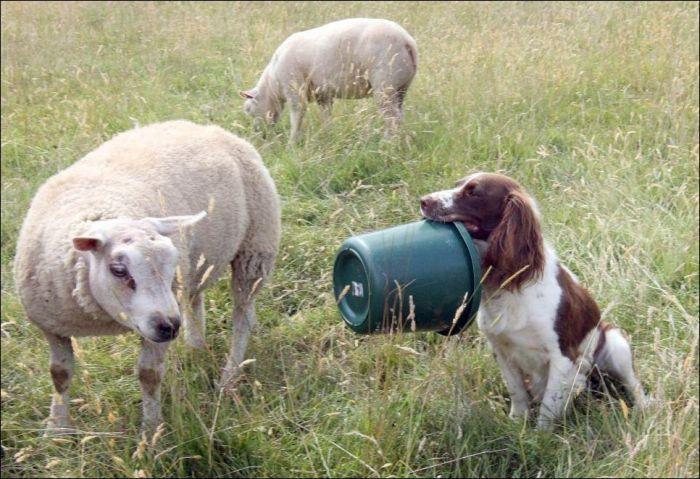 Ultimate Sheepdog Jess (7 pics)