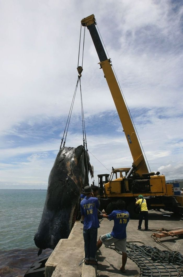 The Funeral of a Pregnant Sperm Whale (6 pics)