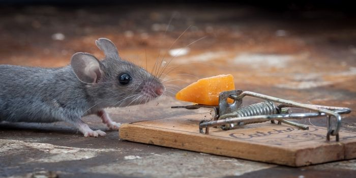 Brave Mouse and a Mousetrap (20 pics)