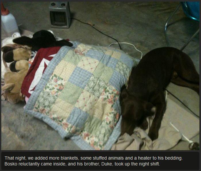 Rescuing a Calf (7 pics)