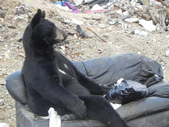 What Does a Bear Do When He Finds an Old Couch? (3 pics)