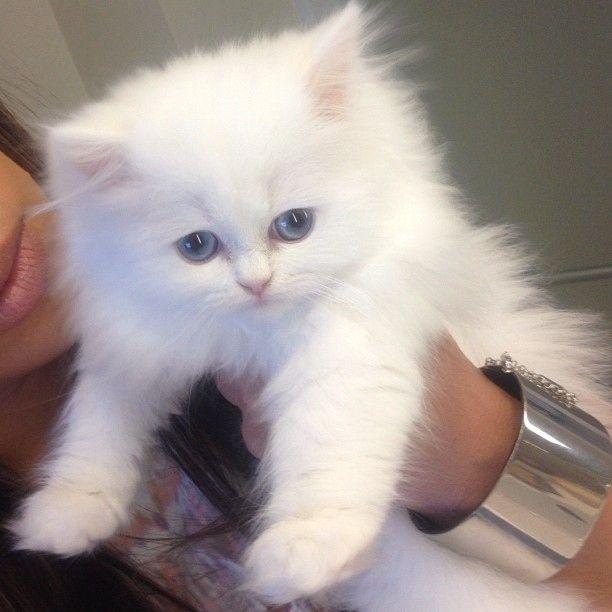 Kim Kardashian's Cat (8 pics)