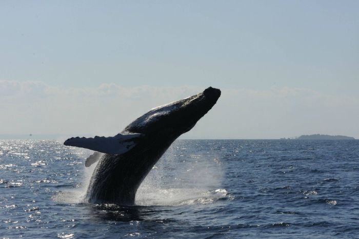 Jumping Whale (12 pics)