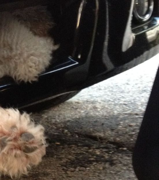 Poodle's Ride Inside Car's Grille (4 pics)