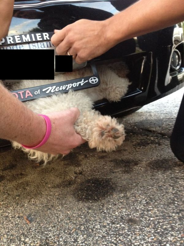 Poodle's Ride Inside Car's Grille (4 pics)