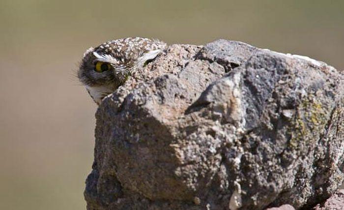 Owl Camouflage (21 pics)