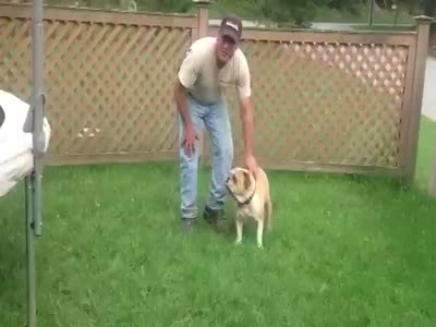 Funny Bulldogs Likes To Jump on a Trampoline
