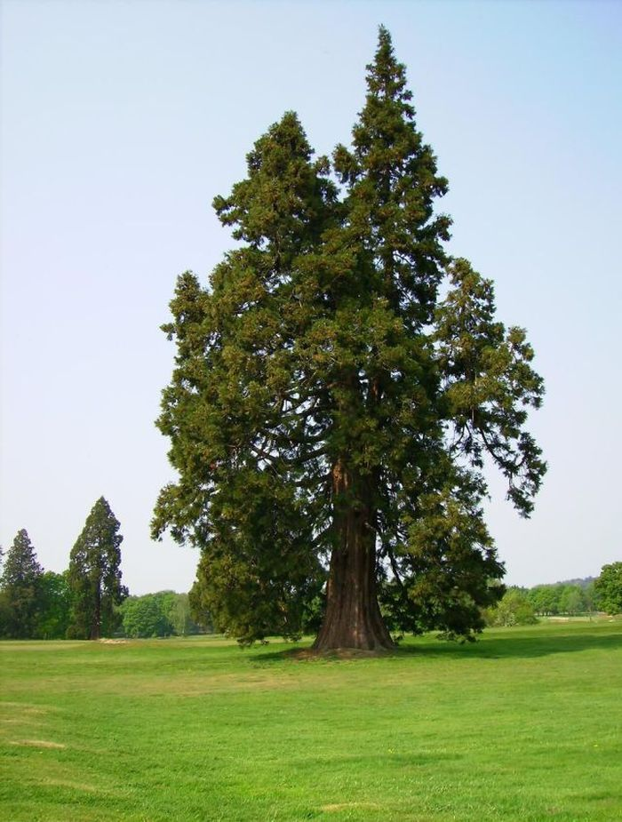 Enormous Sequoia Trees (22 pics)