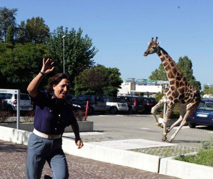 Giraffe on The Loose (13 pics)